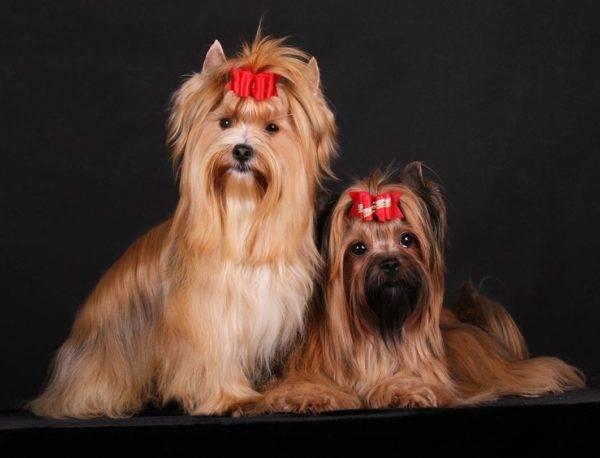 Русские салонные собаки