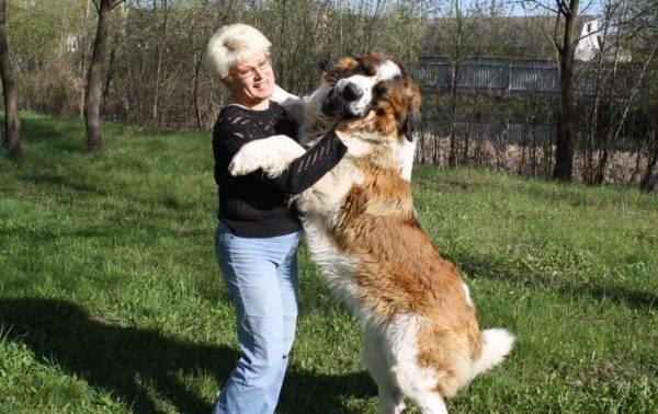 Московская сторожевая собака играется