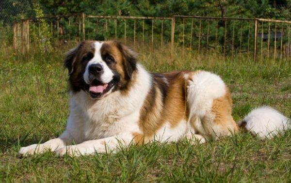 Московская сторожевая собака лежит