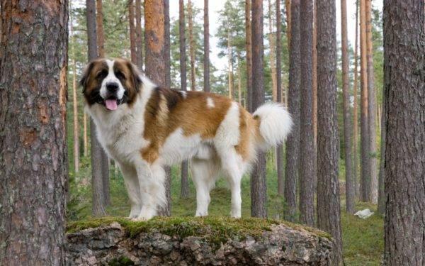 Московская сторожевая собака на камне