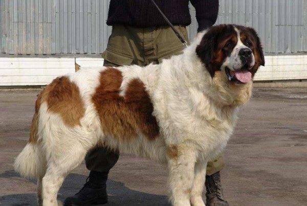 Московская сторожевая собака рядом с хозяином