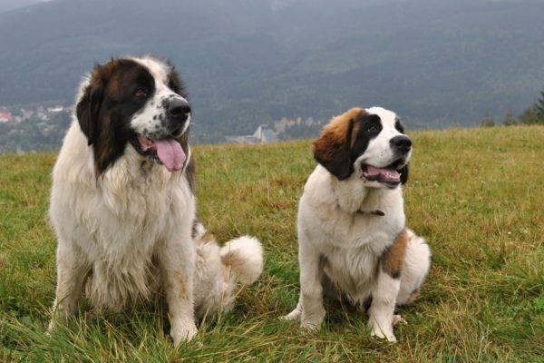 Московские сторожевые собаки