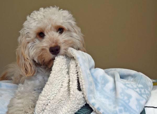 Кокапу с одеялом