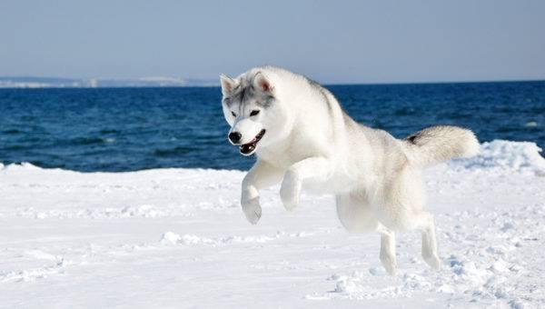 Сахалинский хаски прыгает