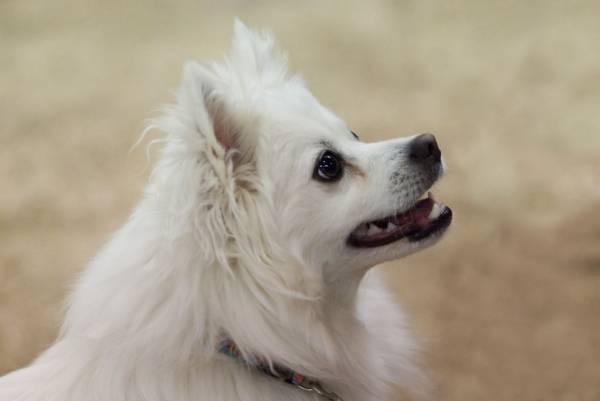 Американский эскимосский шпиц красивая собака