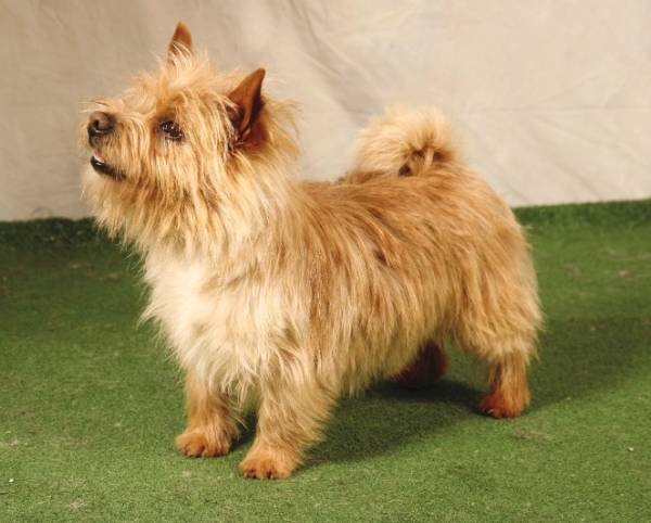Норвич терьер красивая собака