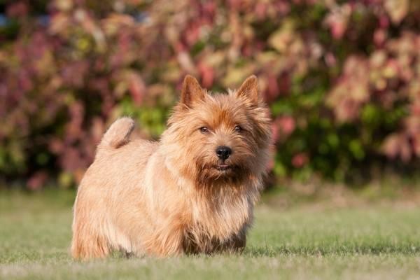 йоркширский терьер цена в москве щенок