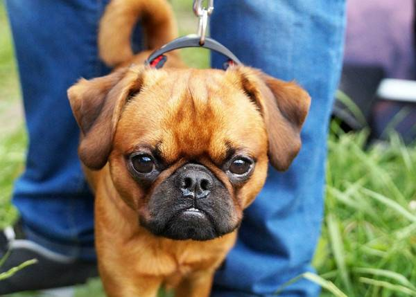 Пти-брабансон красивая собака
