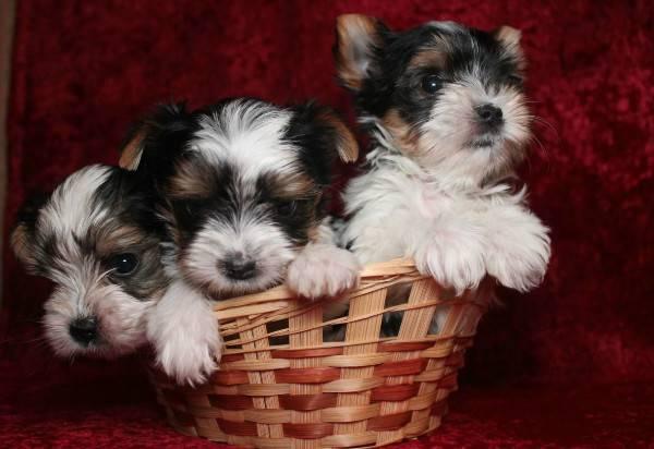 Собаки породы бивер