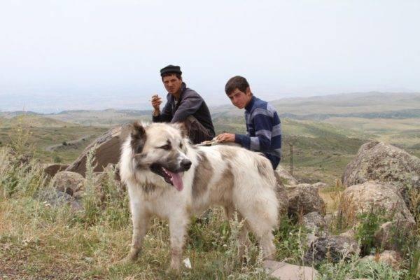 Гампра (Армянского волкодава) в горах