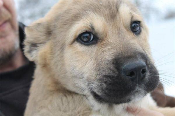 Гампра (Армянского волкодава) щенок