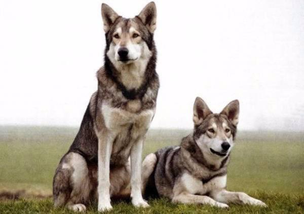 прекрасные Волчьи собаки Сарлоса
