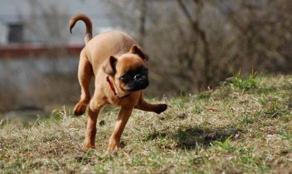 Пти-брабансон бежит
