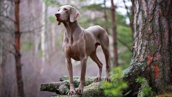 веймаранер в лесу