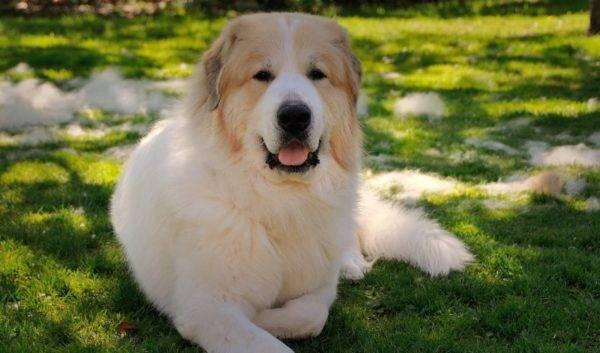 Пиренейская горная собака красивое фото