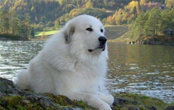 Пиренейская горная собака лежит