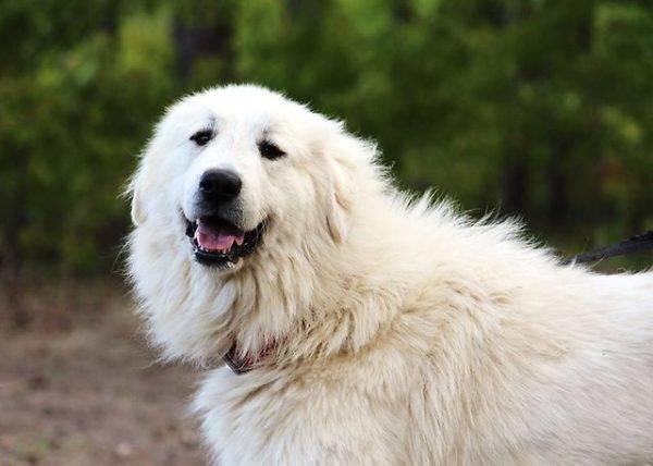 Пиренейская горная собака морда