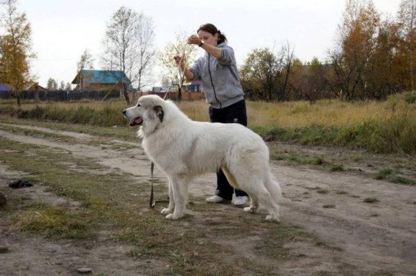 Пиренейская горная собака на даче