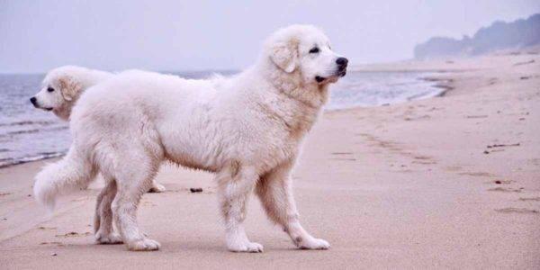 Пиренейская горная собака на море