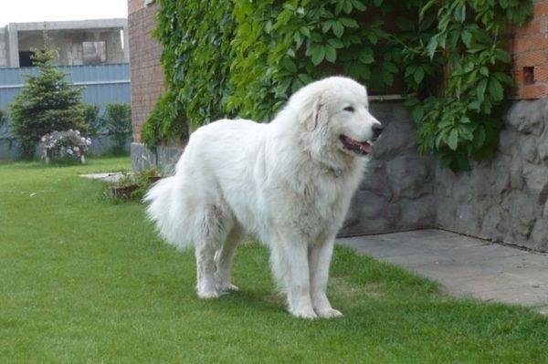 Пиренейская горная собака на траве