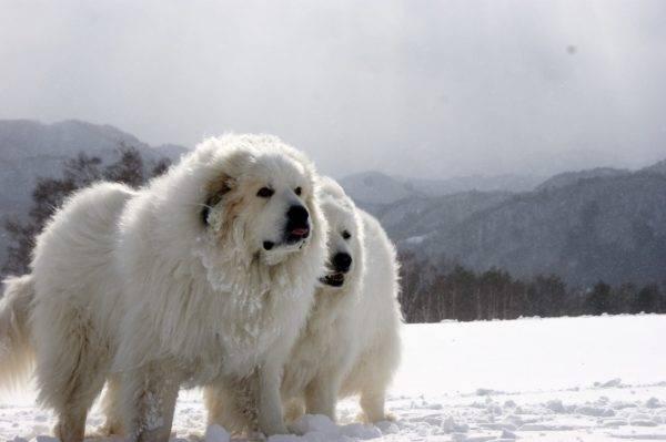 Пиренейская горная собака читайте статью