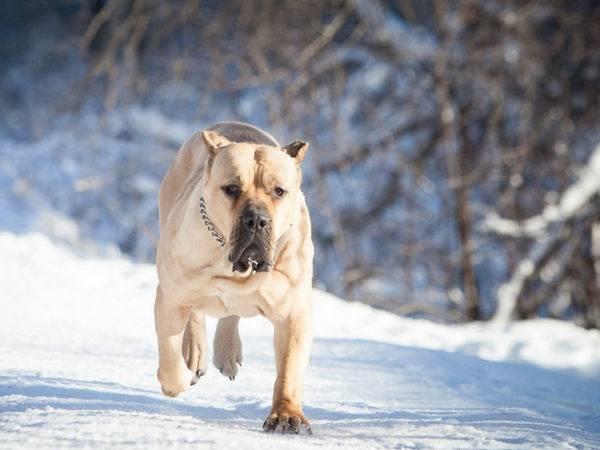 Канарский дог: фото собаки, цена, описание породы ... Канарский дог Характер