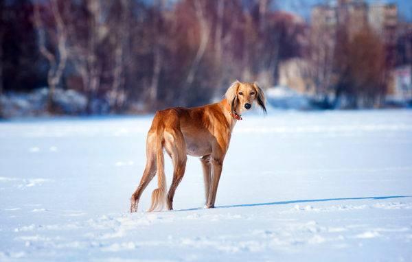 Салюки зимой