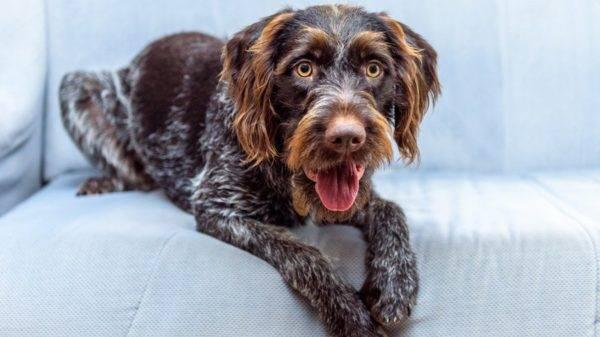 Дратхаар красивая собака