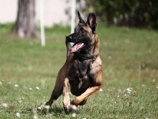 Бельгийская овчарка - красивая собака