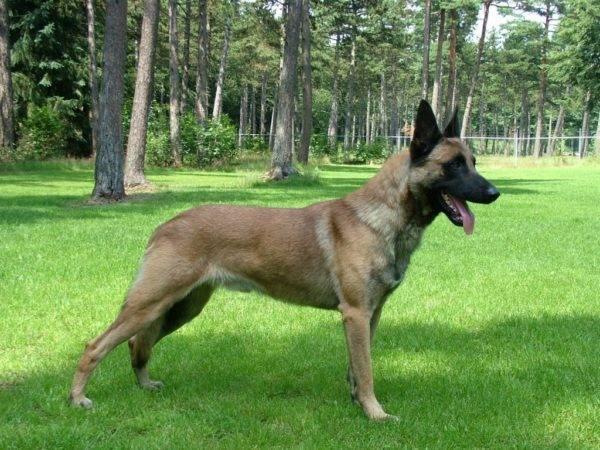 Бельгийская овчарка на прогулке