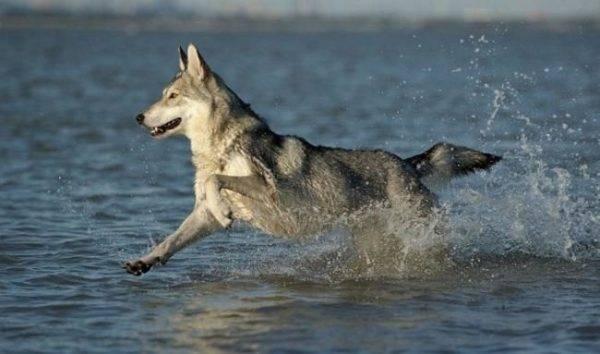 Волчья собака Сарлоса в воде