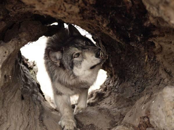 Волчья собака Сарлоса в норе