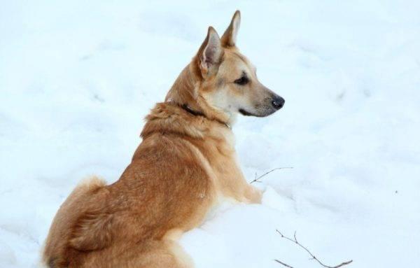 Волчья собака Сарлоса в снегу