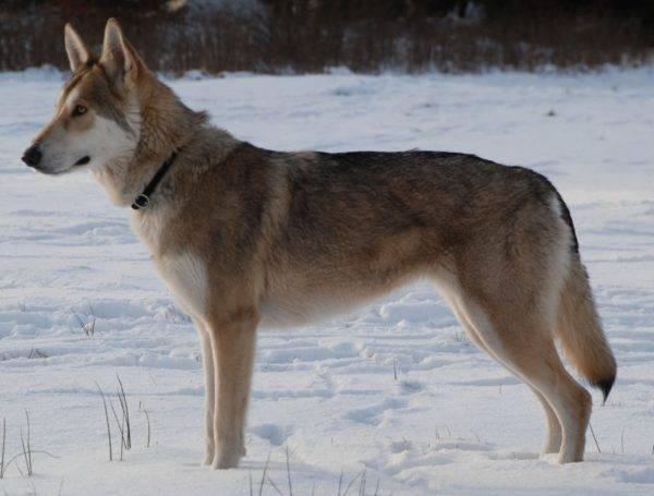 Волчья собака Сарлоса зимой