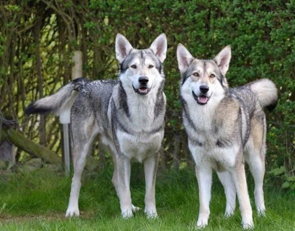 Волчья собака Сарлоса красивая порода