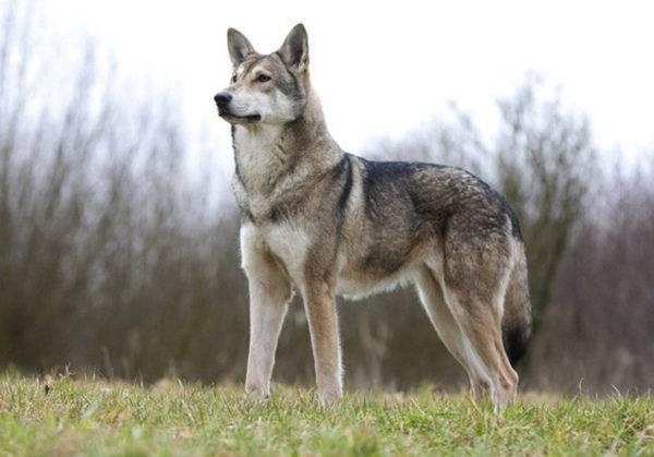 Волчья собака Сарлоса описание породы