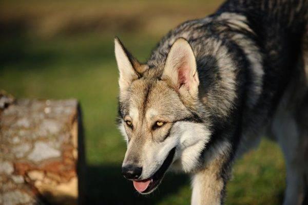 Волчья собака Сарлоса читайте статью