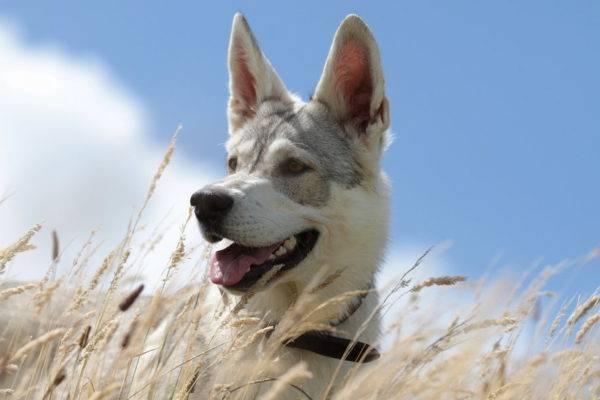 Волчья собака Сарлоса
