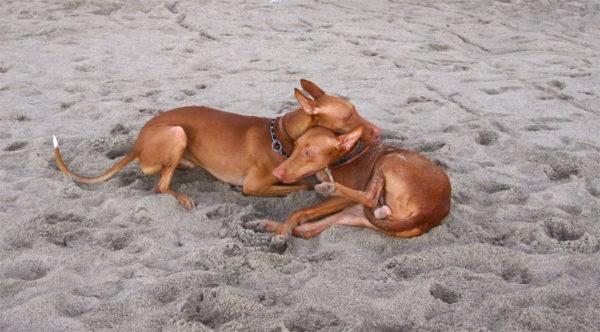 Фараонова собака красивая порода