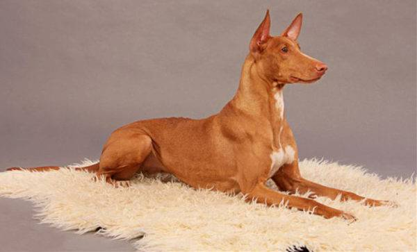 Фараонова собака лежит