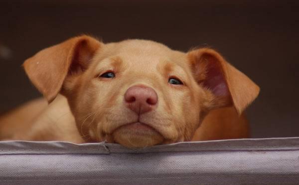 Фараонова собака морда