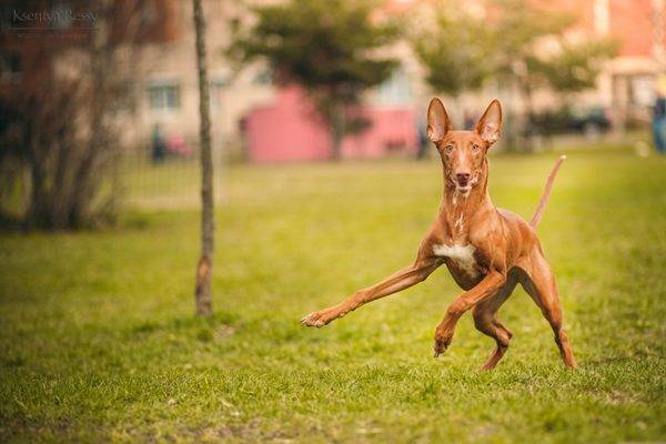 Фараонова собака на природе