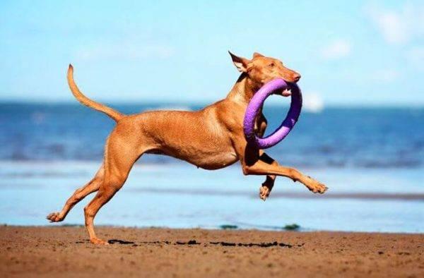 Фараонова собака с игрушкой