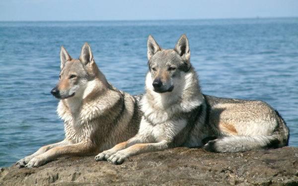 Волчьи собаки Сарлоса