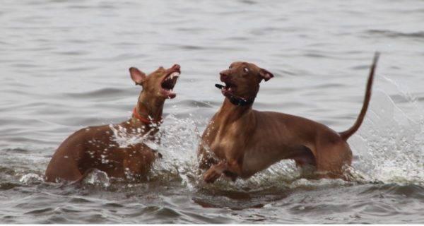 Фараоновые собаки в воде