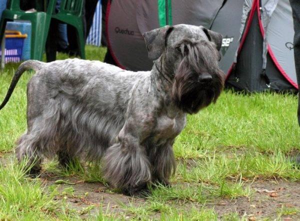 Чешский терьер красивая собака