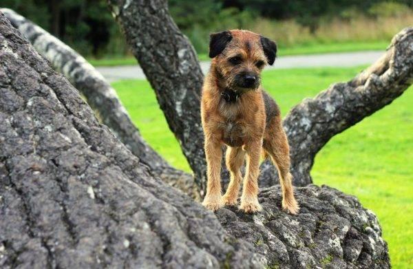 Бордер терьер на дереве