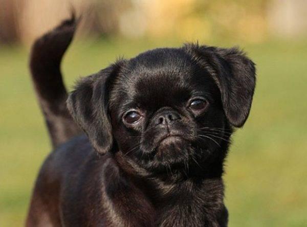 милая черная собачка