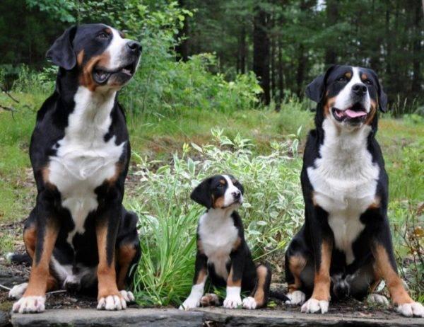 Большой швейцарский зенненхунд семья