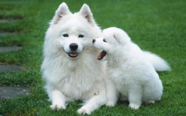 Американский эскимосский шпиц с щенком
